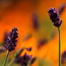 Lavender Sunset by chrispua