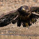 Juvenile Bald Eagle Take Off by David Friederich