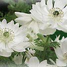 White Anemones.............Devon UK by lynn carter