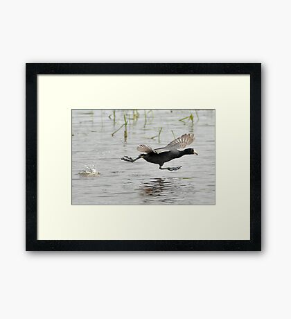Coot Scoot Framed Print