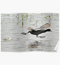 Coot Scoot Poster