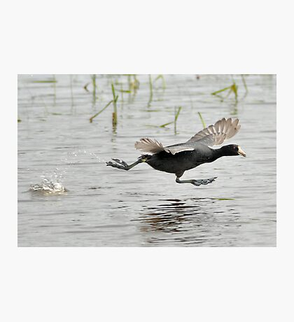 Coot Scoot Photographic Print