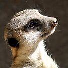 The Meerkat by Sprinkla