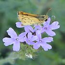 Texas Whirlabout Skipper by Penny Odom