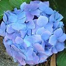 Blue heaven   Hydrangea by David Smith