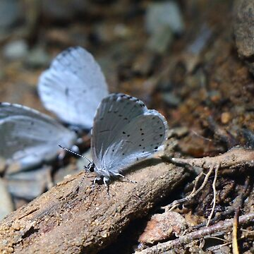 Eastern Tailed Blue Butterfly by metrognome