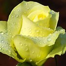 """RAINWASHED"" - crisp, refreshing a real lemon/lime rose by Magriet Meintjes"