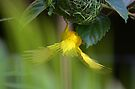 Golden Palm Weaver 4 by David Clarke