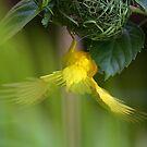 Golden Palm Weaver 4 by David Clarke