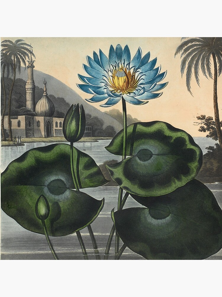 Botanical illustration: Blue Egyptian water lily by Robert Thornton – State Library Victoria by StateLibraryVic