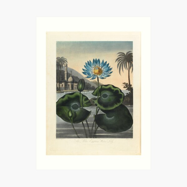 Botanical illustration: Blue Egyptian water lily by Robert Thornton – State Library Victoria Art Print