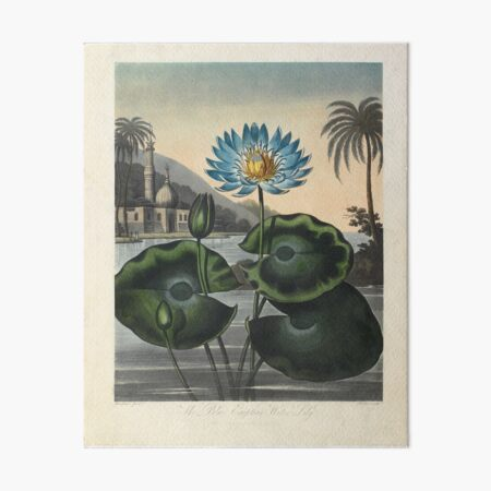 Botanical illustration: Blue Egyptian water lily by Robert Thornton – State Library Victoria Art Board Print
