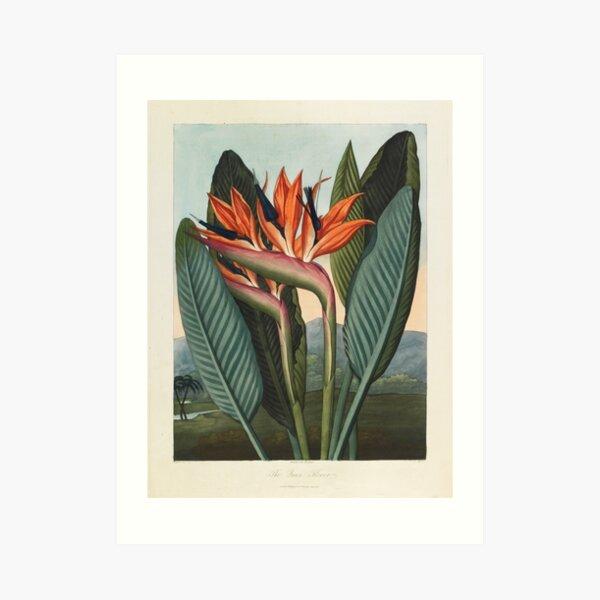 Botanical illustration: Bird of Paradise (Strelitzia) – State Library Victoria Art Print