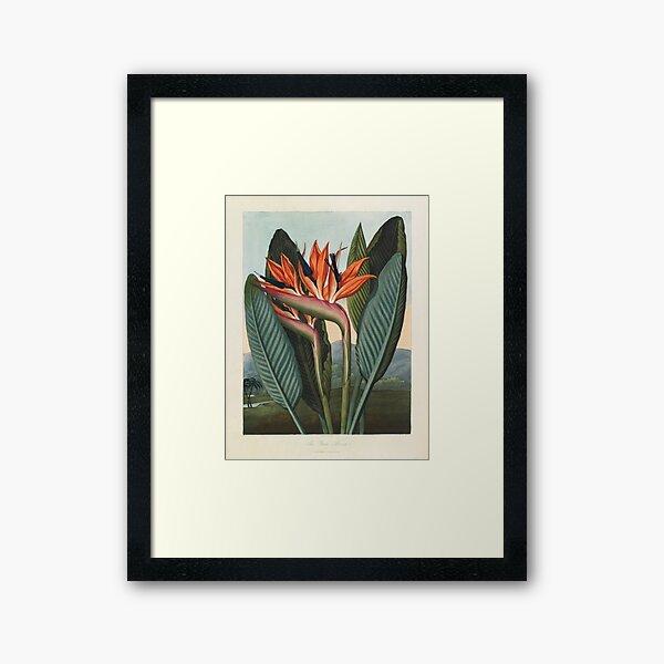 Botanical illustration: Bird of Paradise (Strelitzia) – State Library Victoria Framed Art Print
