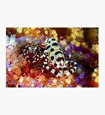 Colemans Shrimp Photographic Print