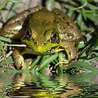 Big Frog Looking at Me by TJ Baccari Photography