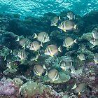 White-spotted Surgeonfish by Mark Rosenstein