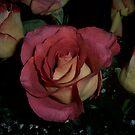 Coral Roses by Glenna Walker