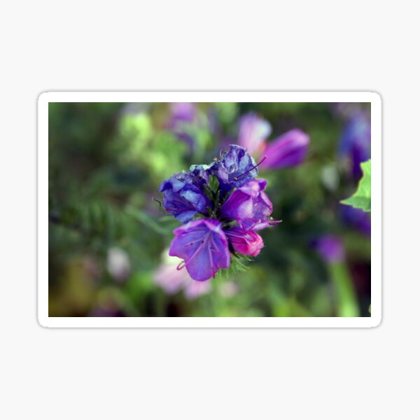viper's bugloss blue and pink flowers 1 Sticker