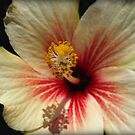 Hibiscus by Bev Pascoe
