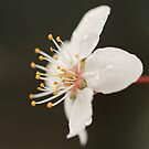 Cherry Blossom 4 by Tracy Friesen