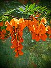 Scarlet wisteria tree - Sesbania punicea by MotherNature