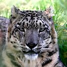 Ranshan the Snow Leopard by SWEEPER