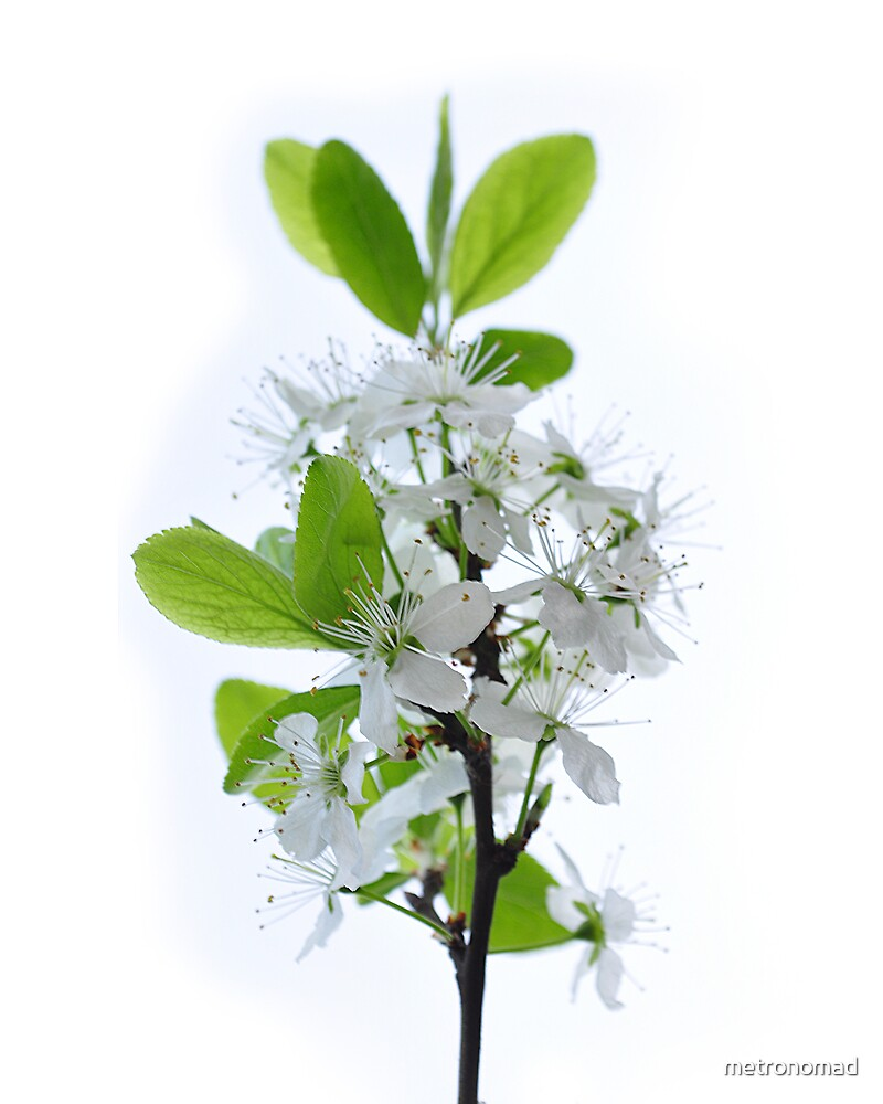 Flores de Abril 2 by metronomad