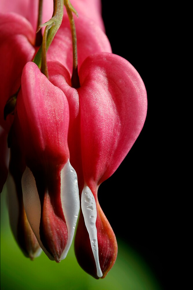 Bleeding Hearts by J. Scott Coile