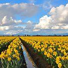 Skagit Valley Daffodils, Mount Vernon, Washington by Barb White