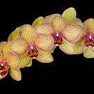 Orchids v2 by JMChown