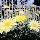 Yellow Daisies and Fence by Teresa Schultz