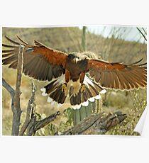 Wing Span Harris Hawk  Poster