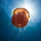 Sun Jelly by Ross Gudgeon