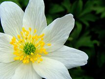White Anemone by Eugenio