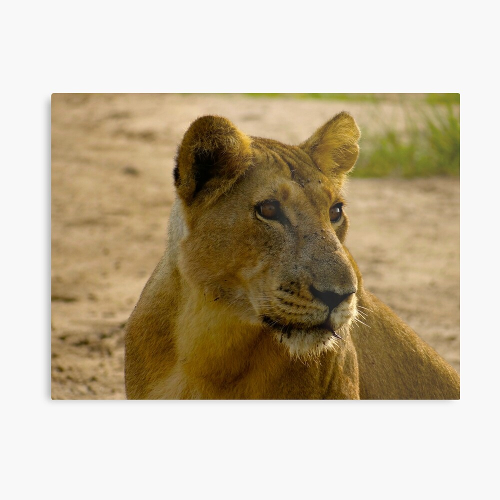 pregnant lioness relaxed Metal Print