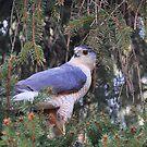 Cooper's Hawk by Nancy Barrett