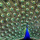 Peacock Glory by Nancy Barrett