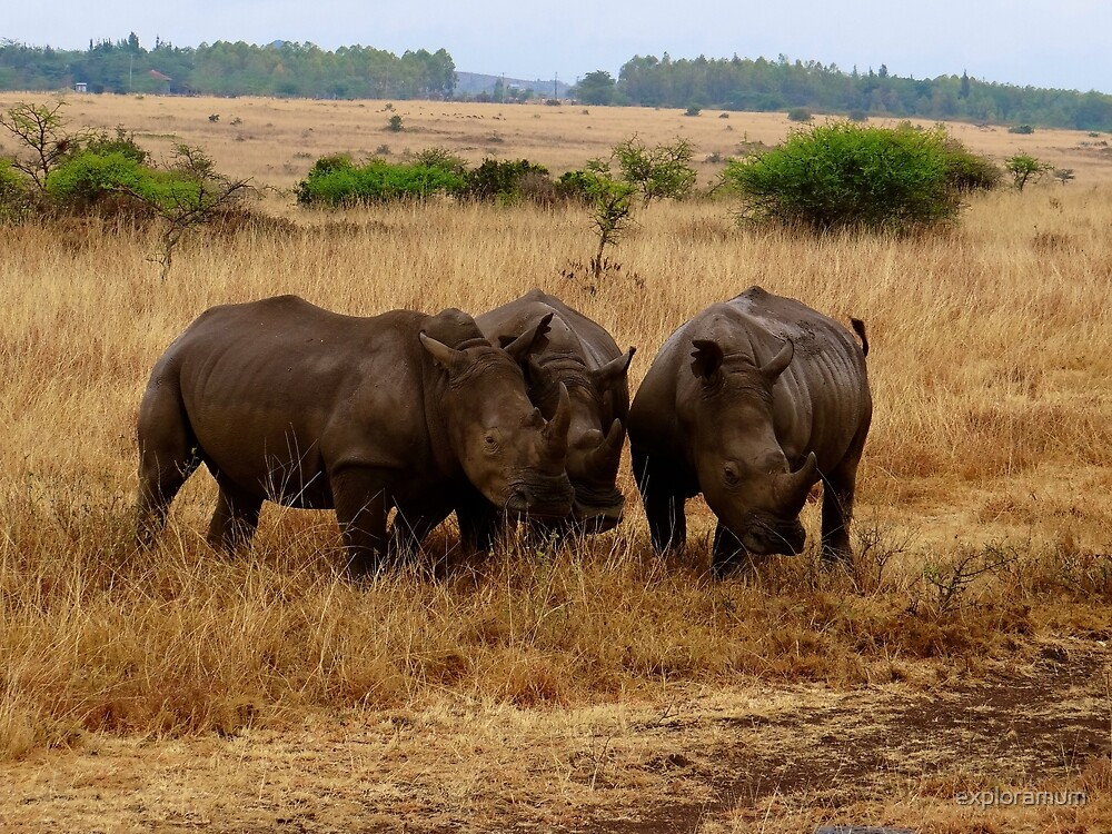 African animals on safari - three very rare white rhinoceroses 1 by exploramum