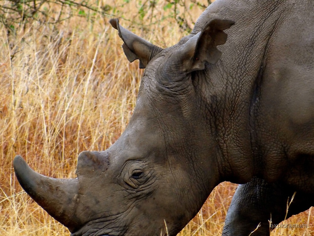 African animals on safari - one very rare white rhinoceros right angle very close by exploramum