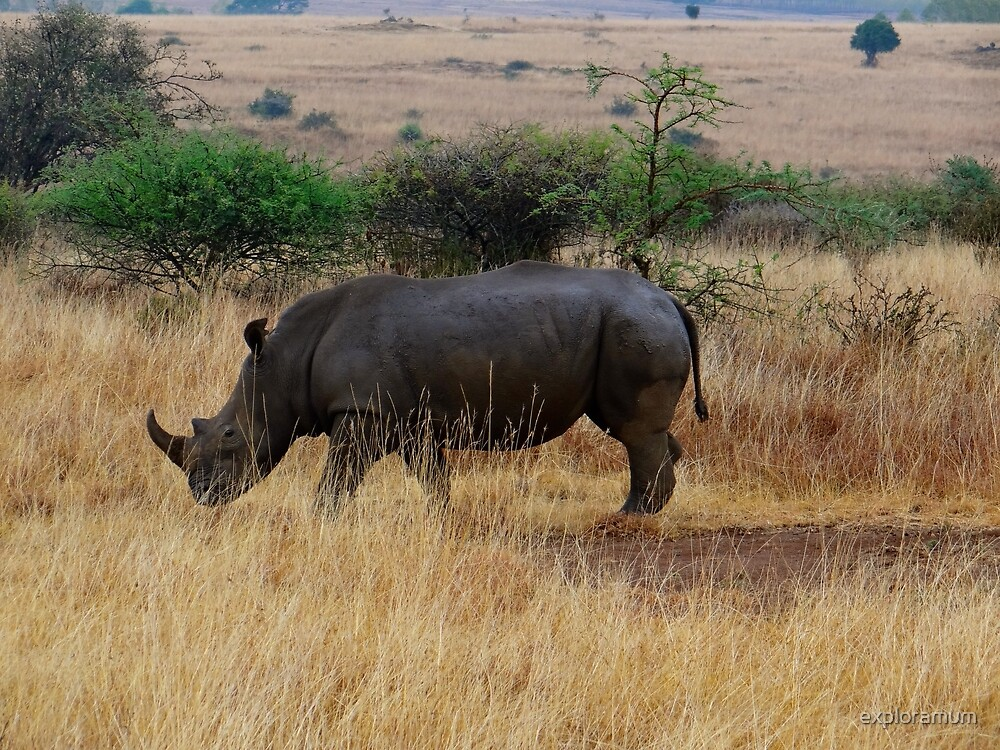 African animals on safari - one very rare white rhinoceros right angle with background by exploramum