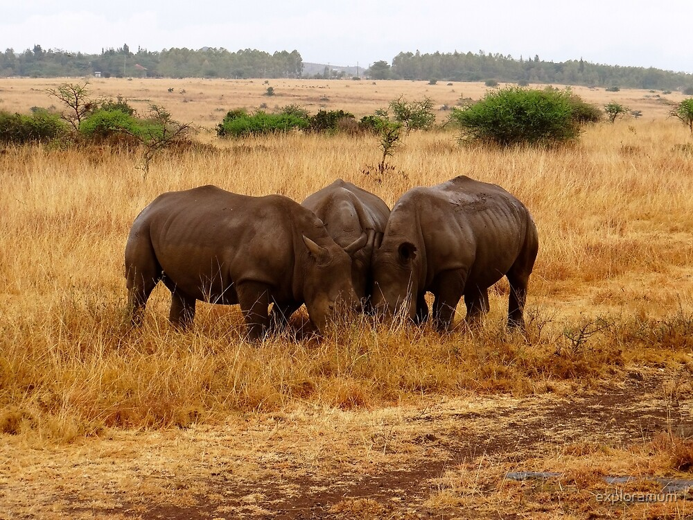 African animals on safari - three very rare white rhinoceros grazing by exploramum