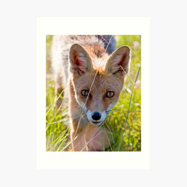 Young and curious fox Art Print