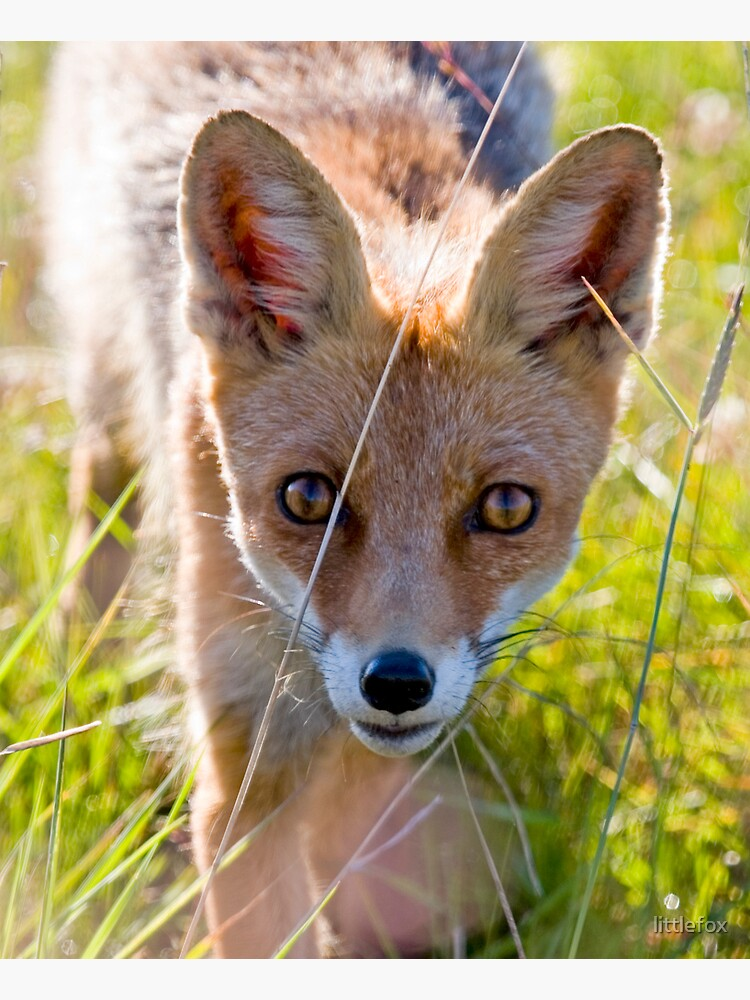 Young and curious fox by littlefox