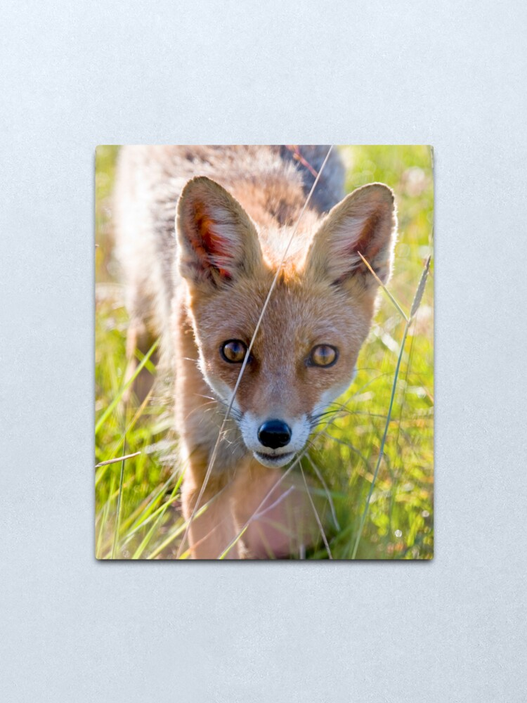 Alternate view of Young and curious fox Metal Print