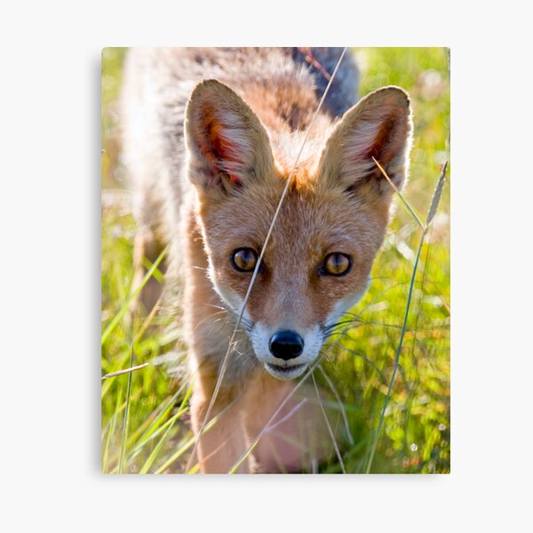 Young and curious fox Canvas Print