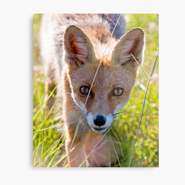 Young and curious fox Metal Print