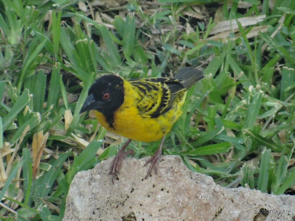 North - Eastern African home - close up yellow and black bird by exploramum