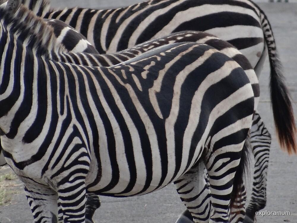 Zebras in Kenya 4 by exploramum