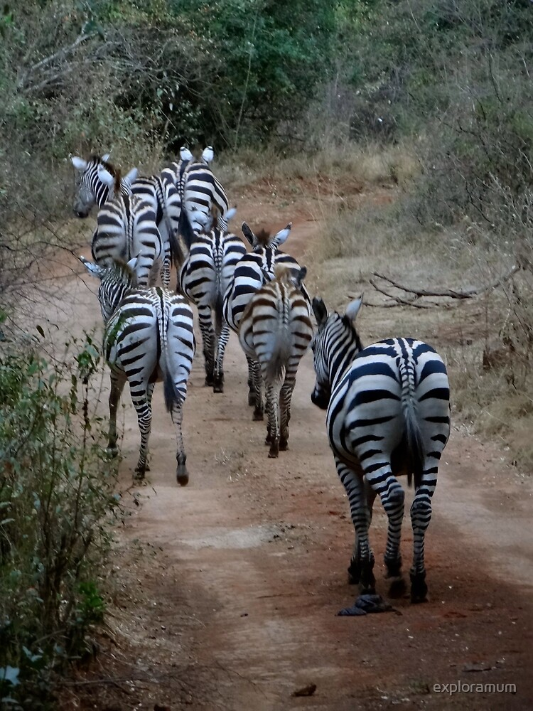 Zebras heading home - full colour by exploramum